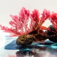 Limu Seaweed Jewelry made from the finest brick red, natural Limu.